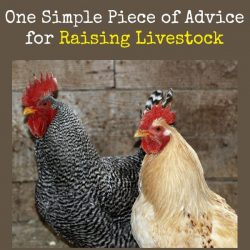 One Simple Piece of Advice for Raising Livestock