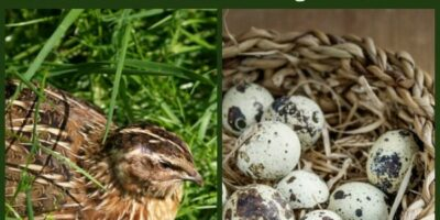How to Raise Quail: An Alternative to Chickens