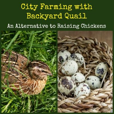How to Raise Quail When Chickens Are Out of the Question