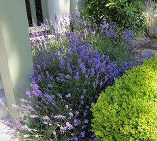 The Miracle of Lavender Oil: 25 Amazing Uses for Survival