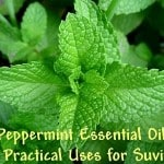 The Miracle of Peppermint Oil: 20 Practical Uses for Survival