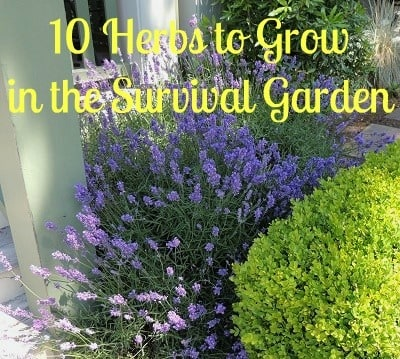 10 Herbs to Grow in the Survival Garden