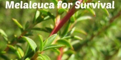 80 Amazing Uses of Melaleuca Oil for Survival