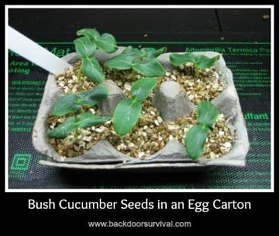 Bush Cucumber Starts in Egg Carton