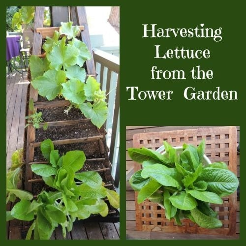 Harvesting Lettuce from the Tower Garden - Backdoor Survival