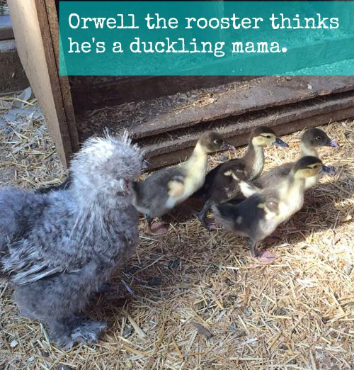 Orwell the rooser and his babies | Backdoor Survival
