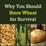 Why Store Wheat – Wheat 101 for Newbies