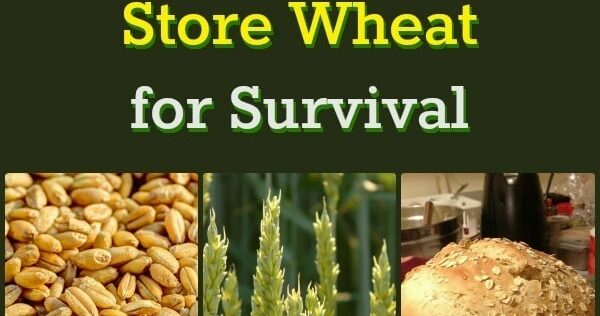 Why You Should Store Wheat for Survival