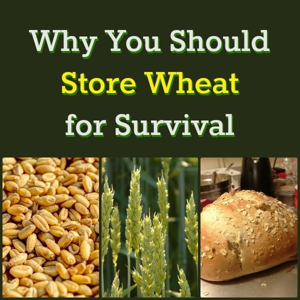 Why You Should Store Wheat for Survival | Backdoor Survival