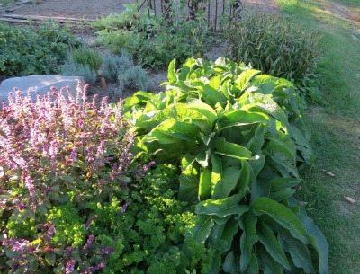 Comfrey in Garden | Backdoor Survival
