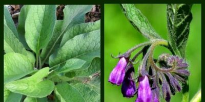 Healing Herbs: What You Need to Know About Comfrey