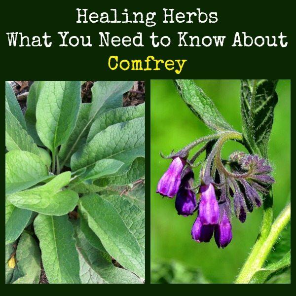 Healing Herbs Comfrey | Backdoor Survival