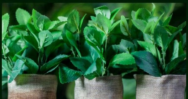 Healing Herbs: What You Need to Know About Mint