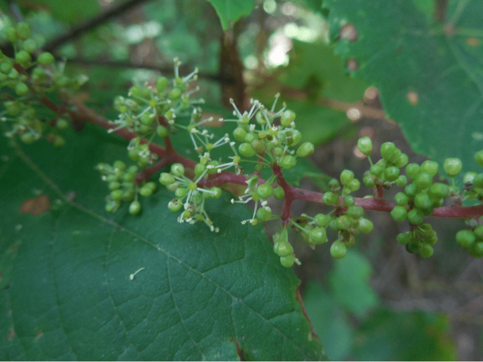 Grapes Backdoor Foraging