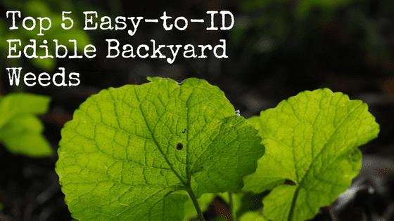 Top 5 Easy-to-ID Edible Backyard Weeds