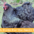 Best Meat Birds For The Small Producer