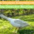 Backyard Chicken Alternatives: Should You Consider Raising Geese?