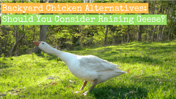Backyard Chicken Alternatives: Should You Consider Raising Geese?