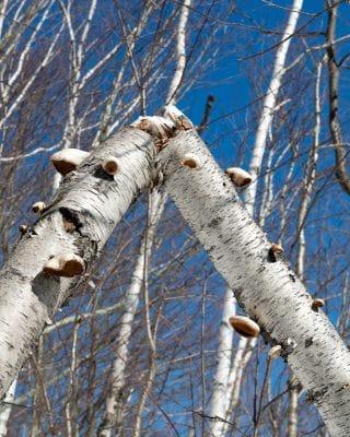 Birch Polypore medicinal mushroom