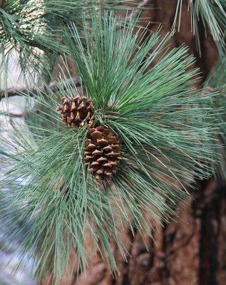 pinecones pondersa