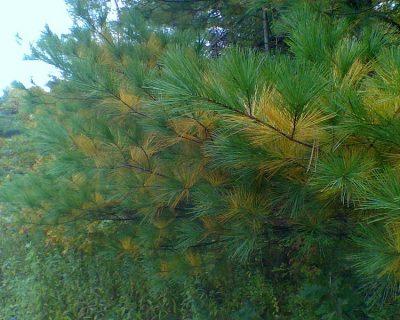 white pine autumn