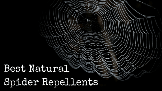 Best Natural Spider Repellents