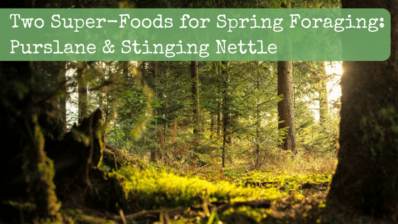 How to Forage and Use Purslane & Stinging Nettle: Two Super-Foods for Spring Foraging