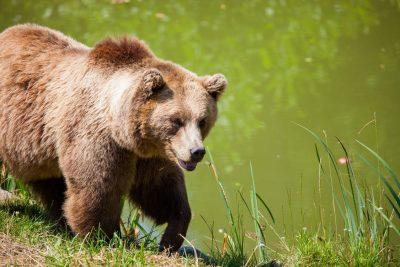 bear-bavarian-bear-wild-brown-bear
