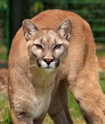 cougar-mountain-lion-puma-concolor-big-cat