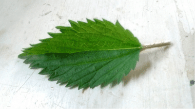 top-of-nettle-leaf