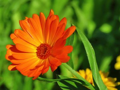 Callendula-flower