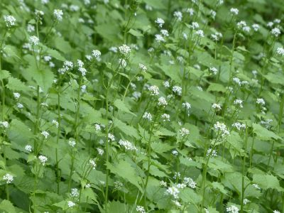 garlic mustard field