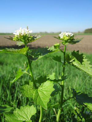 Garlic Mustard Second Year