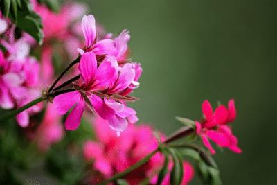 geranium-flower-pink