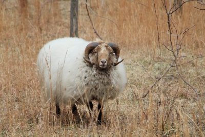 sheep ram nature