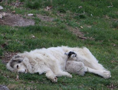 dog lamb cuddle nature