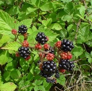 blackberries bush