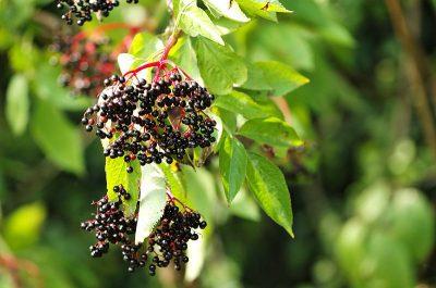 elderberry leaves berries