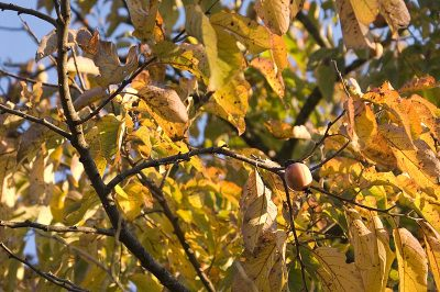 persimmon branches