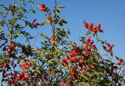 rose plant hips