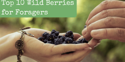 Top 10 Best Wild Berries for Foragers