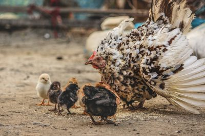 chicken bird chicks
