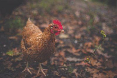 chicken hen walking