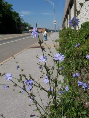 chicory on road