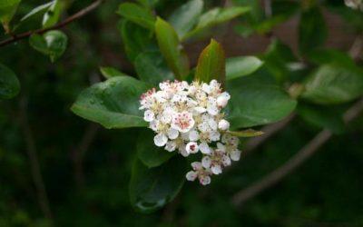 chokeberry flower