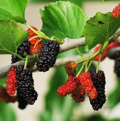 fruit berry on tree
