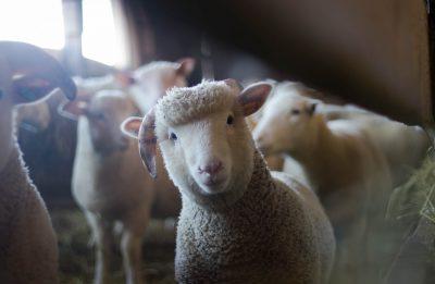 lamb ram