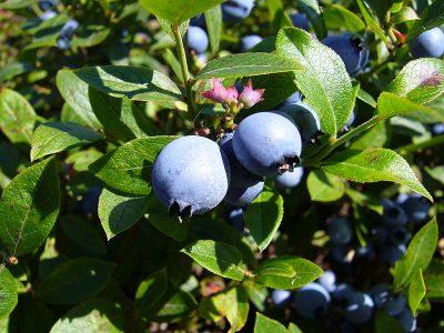 wild blueberry close up