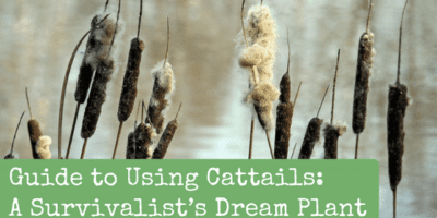 Guide to Using Cattails: A Survivalist's Dream Plant