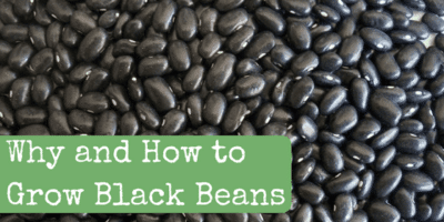 Why and How to Grow Black Beans